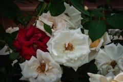 Rosas rojas y blancas grandes Fotografía de archivo