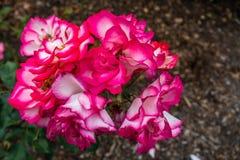 Rosas rojas y blancas macras Imagen de archivo libre de regalías