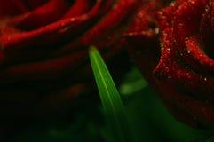 Rosas rojas y hoja verde Fotografía de archivo