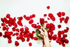 Rosas rojas y pétalos color de rosa aislados en blanco Foto de archivo
