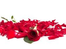 Rosas rojas y pétalos color de rosa Fotos de archivo libres de regalías