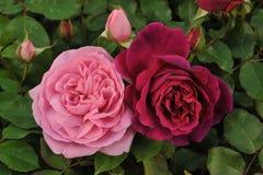Rosas rojas y rosadas Imagen de archivo