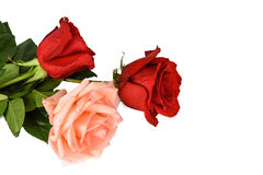 Rosas rojas y rosadas aisladas en un fondo blanco Fotografía de archivo