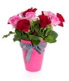 Rosas rojas y rosadas en florero rosado Imágenes de archivo libres de regalías