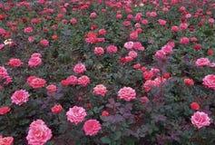 Rosas rojas y rosadas en un macizo de flores Imagen de archivo