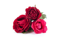 Rosas rojo oscuro aisladas en blanco Foto de archivo