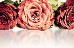 Rosas românticas Imagem de Stock Royalty Free
