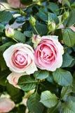 Rosas rosadas fotografía de archivo libre de regalías