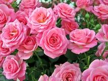 Rosas rosadas Fotos de archivo