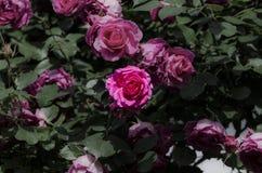 Rosas rosadas Imagen de archivo