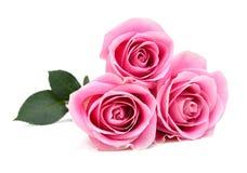 Rosas rosadas aisladas Imágenes de archivo libres de regalías