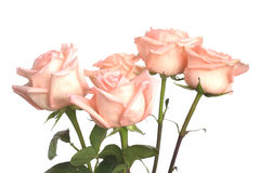 Rosas rosadas aisladas en blanco Foto de archivo