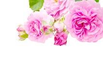 Rosas rosadas antiguas en la esquina aislada en blanco fotografía de archivo