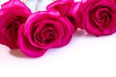 Rosas rosadas brillantes hermosas Fotografía de archivo
