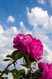 Rosas rosadas cielo y nubes Imágenes de archivo libres de regalías