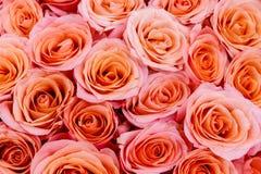 Rosas rosadas como fondo fotos de archivo