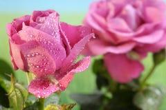 Rosas rosadas con descensos del agua imagen de archivo