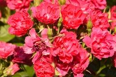 Rosas rosadas con el Damselfly amarillo Imagenes de archivo