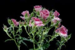 Rosas rosadas con las burbujas fotografía de archivo