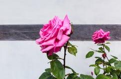 Rosas rosadas contra una pared blanca de la casa Fotos de archivo