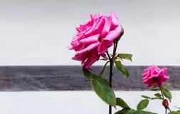 Rosas rosadas contra una pared blanca de la casa Foto de archivo
