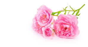 Rosas rosadas de la rama Flor del manojo con el brote fotos de archivo