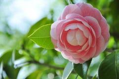 Rosas rosadas del flor Foto de archivo