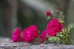 Rosas rosadas del verano en una pared de piedra Imagen de archivo libre de regalías