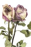 Rosas rosadas descoloradas, aisladas Imagenes de archivo
