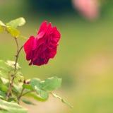 Rosas rosadas en el jardín Imagen de archivo libre de regalías