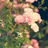 Rosas rosadas en el jardín Imágenes de archivo libres de regalías
