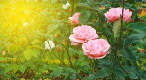 Rosas rosadas en el jardín Foto de archivo libre de regalías