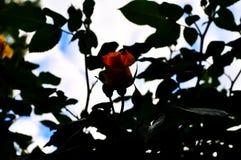 Rosas rosadas en el jardín de rosas rosadas en el fondo del follaje verde foto de archivo