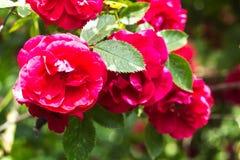 Rosas rosadas en el verano del arbusto imagen de archivo libre de regalías