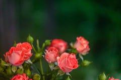 Rosas rosadas en fondo verde fresco de la hoja Fotos de archivo libres de regalías