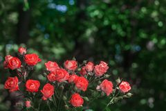 Rosas rosadas en fondo verde fresco de la hoja Foto de archivo