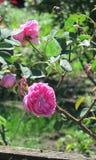 Rosas rosadas en jardín del verano Imagen de archivo libre de regalías