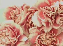 Rosas rosadas en la floración Fotografía de archivo libre de regalías