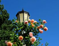 Rosas rosadas en poste ligero Imágenes de archivo libres de regalías