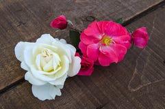Rosas rosadas en un fondo blanco, las mejores rosas para sus proyectos y diseños, imagen de archivo libre de regalías
