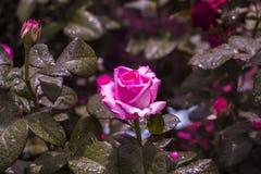 Rosas rosadas en un jardín Imágenes de archivo libres de regalías
