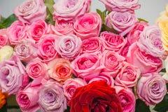 Rosas rosadas Es muchas rosas rosadas Imágenes de archivo libres de regalías