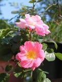 Rosas rosadas florecientes Fotografía de archivo