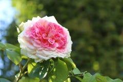 Rosas rosadas hermosas del color en el jardín, fondo fotos de archivo