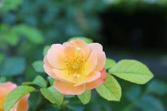 Rosas rosadas hermosas del color en el jardín, fondo imagen de archivo libre de regalías