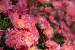 Rosas rosadas hermosas que florecen en el jard?n fotografía de archivo