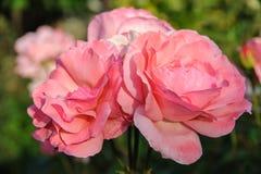 rosas rosadas maravillosas imágenes de archivo libres de regalías