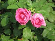 Rosas rosadas oscuras Imagen de archivo