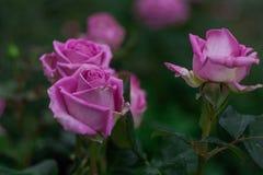 Rosas rosadas que crecen en el jardín imagen de archivo