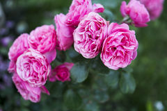 Rosas rosadas que florecen en el jardín Foto de archivo libre de regalías